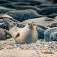 Seerobben liegen am Strand