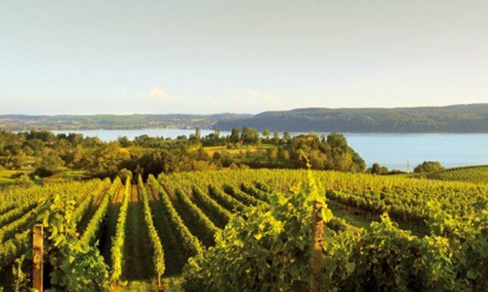 Grüne Weinfelder