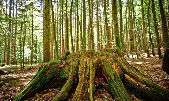 Zahlreiche Bäume im Bayerischen Wald